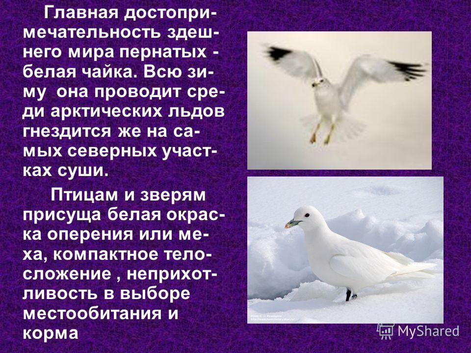 Главная достопримечательность здешнего мира пернатых - белая чайка. Всю зиму она проводит среди арктических льдов гнездится же на самых северных участках суши. Птицам и зверям присуща белая окрас- ка оперения или ме- ха, компактное тело- сложение, не