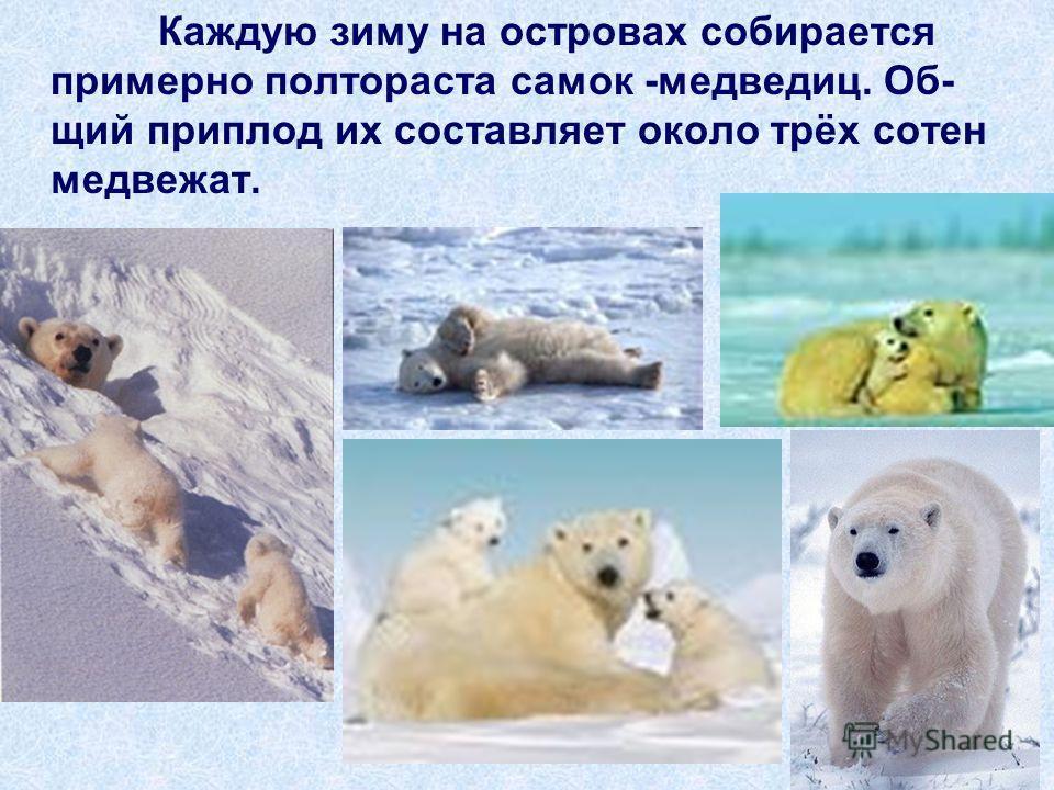 Каждую зиму на островах собирается примерно полтораста самок -медведиц. Об- щий приплод их составляет около трёх сотен медвежат.