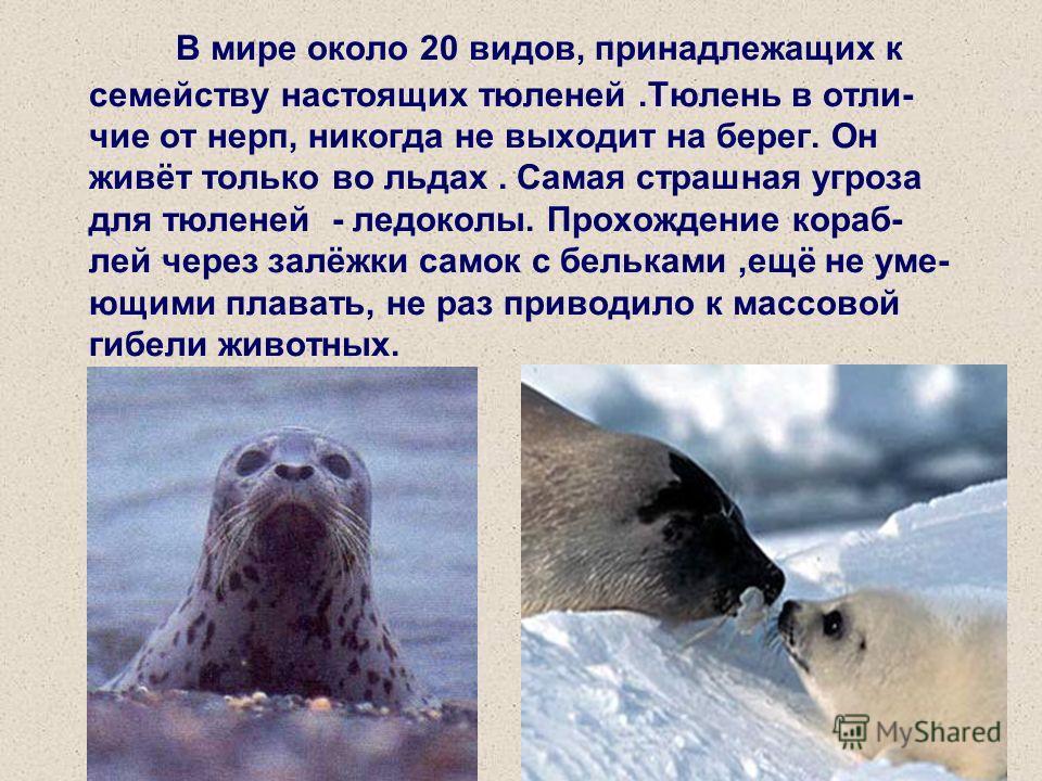 В мире около 20 видов, принадлежащих к семейству настоящих тюленей.Тюлень в отличие от нерп, никогда не выходит на берег. Он живёт только во льдах. Самая страшная угроза для тюленей - ледоколы. Прохождение кораблей через залёжки самок с бельками,ещё