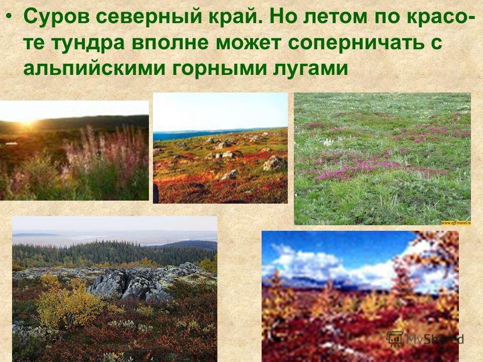 Суров северный край. Но летом по красоте тундра вполне может соперничать с альпийскими горными лугами