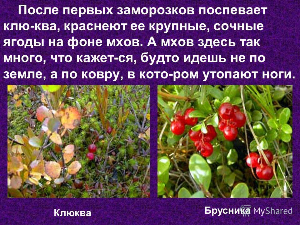 После первых заморозков поспевает клю-ква, краснеют ее крупные, сочные ягоды на фоне мхов. А мхов здесь так много, что кажет-ся, будто идешь не по земле, а по ковру, в кото-ром утопают ноги. Клюква Брусника