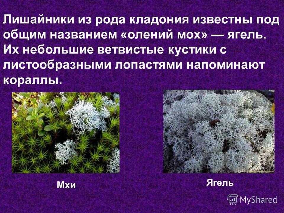 Лишайники из рода кладония известны под общим названием «олений мох» ягель. Их небольшие ветвистые кустики с листообразными лопастями напоминают кораллы. Мхи Ягель