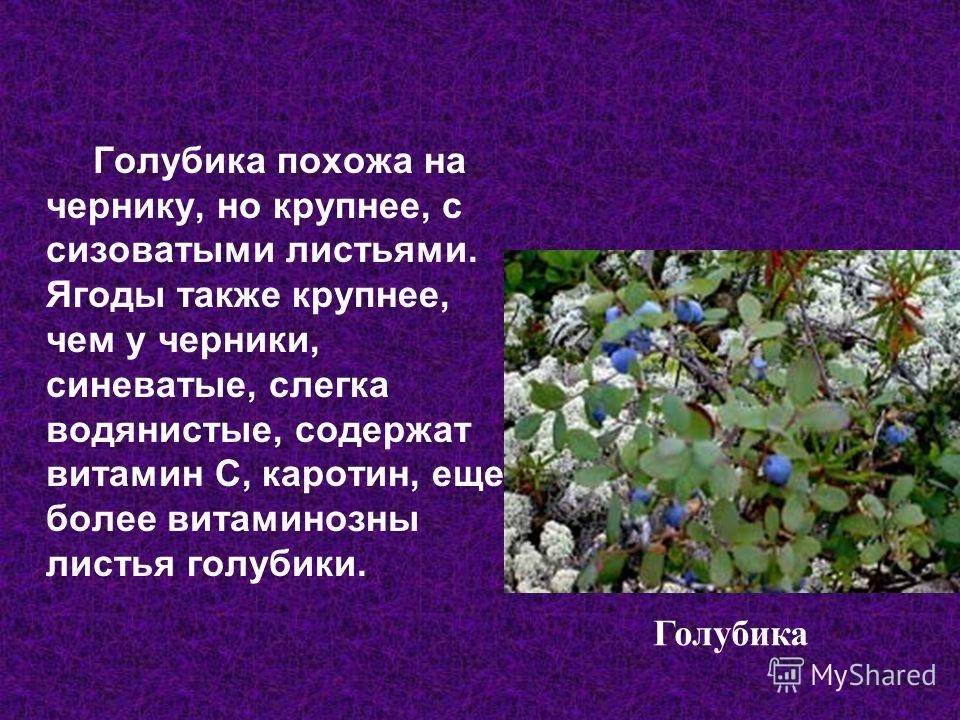 Голубика похожа на чернику, но крупнее, с сизоватыми листьями. Ягоды также крупнее, чем у черники, синеватые, слегка водянистые, содержат витамин С, каротин, еще более витаминозный листья голубики. Голубика