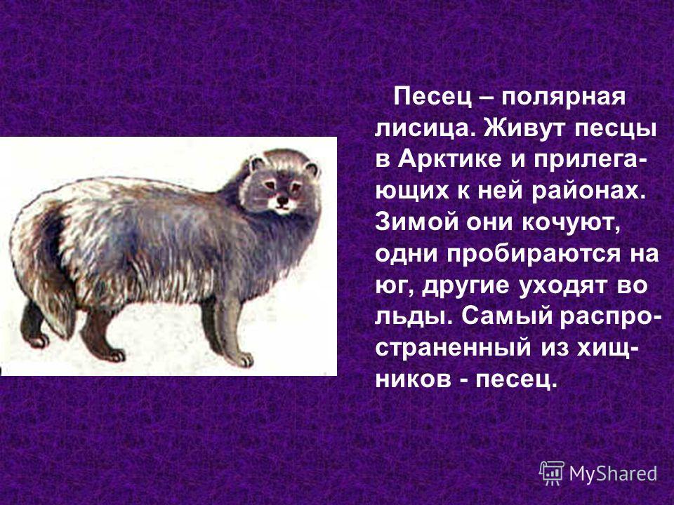 Песец – полярная лисица. Живут песцы в Арктике и прилегающих к ней районах. Зимой они кочуют, одни пробираются на юг, другие уходят во льды. Самый распространенный из хищников - песец.