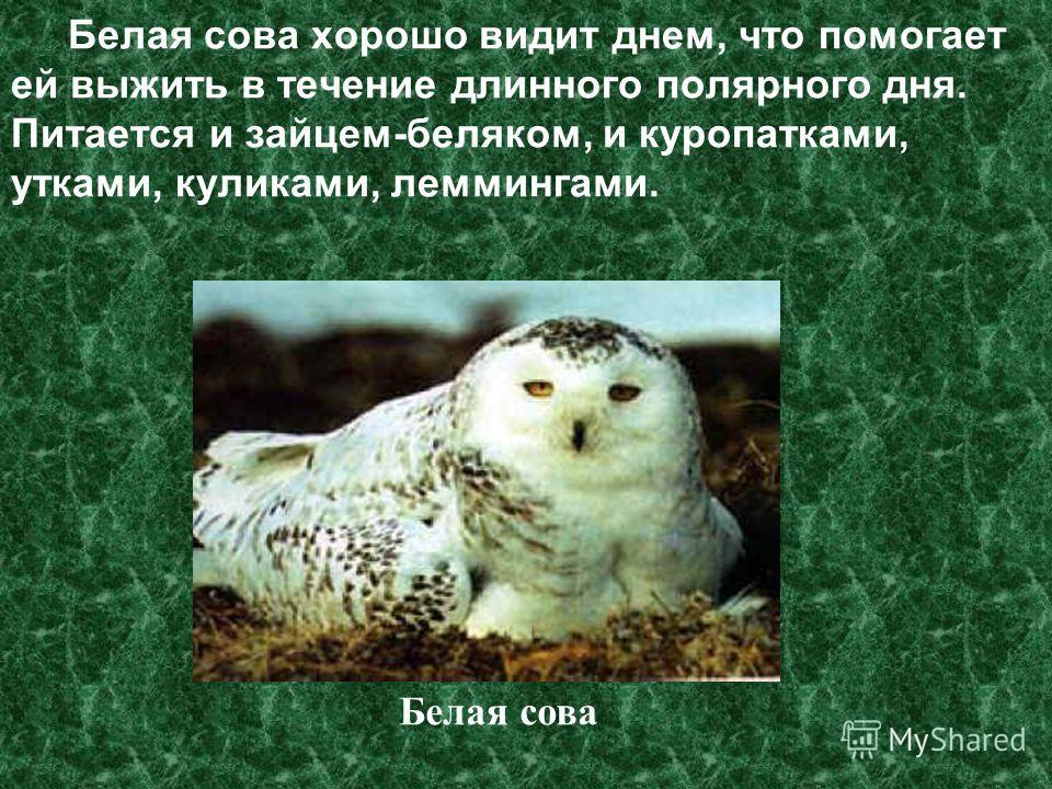 Белая сова хорошо видит днем, что помогает ей выжить в течение длинного полярного дня. Питается и зайцем-беляком, и куропатками, утками, куликами, леммингами. Белая сова