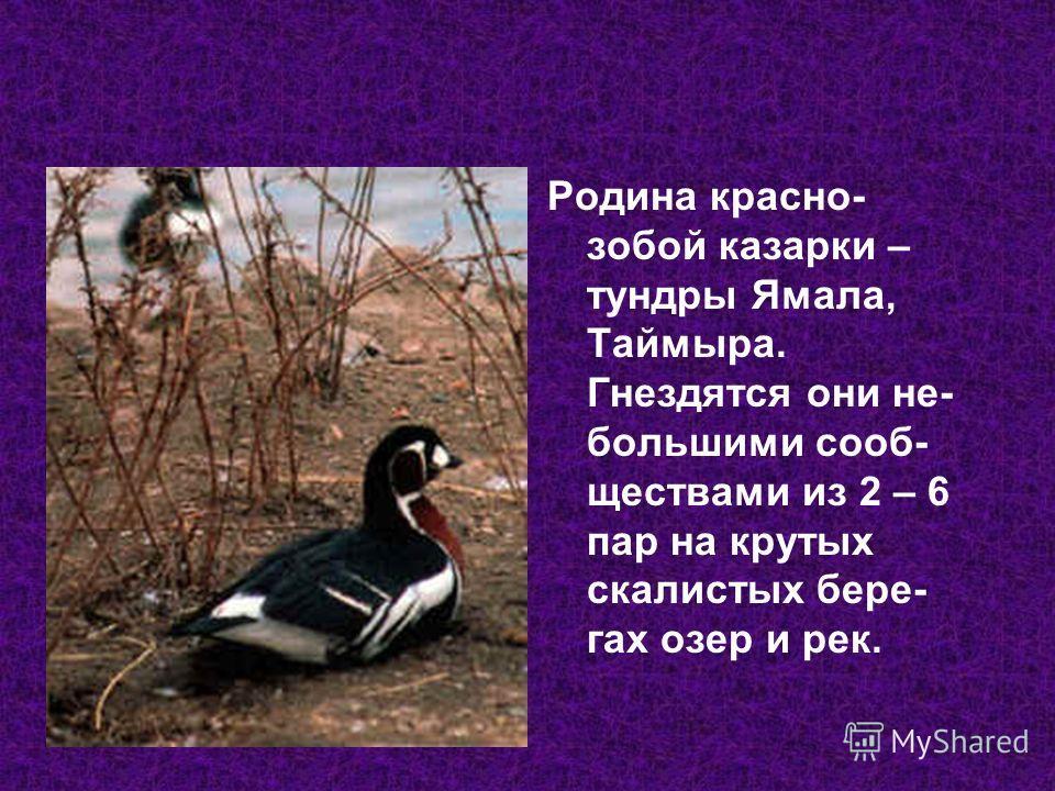 Родина красно- собой казарки – тундры Ямала, Таймыра. Гнездятся они не- большими сообществами из 2 – 6 пар на крутых скалистых берегах озер и рек.