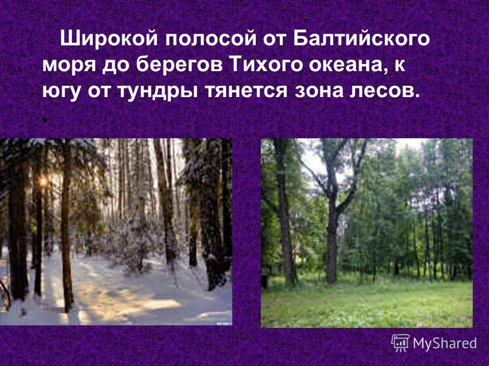 Широкой полосой от Балтийского моря до берегов Тихого океана, к югу от тундры тянется зона лесов.