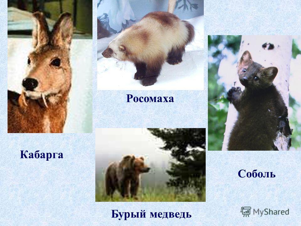 Кабарга Росомаха Бурый медведь Соболь