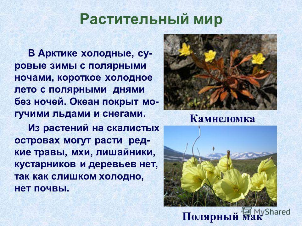 Растительныйй мир В Арктике холодные, суровые зимы с полярными ночами, короткое холодное лето с полярными днями без ночей. Океан покрыт могучими льдами и снегами. Из растений на скалистых островах могут расти редкие травы, мхи, лишайники, кустарников