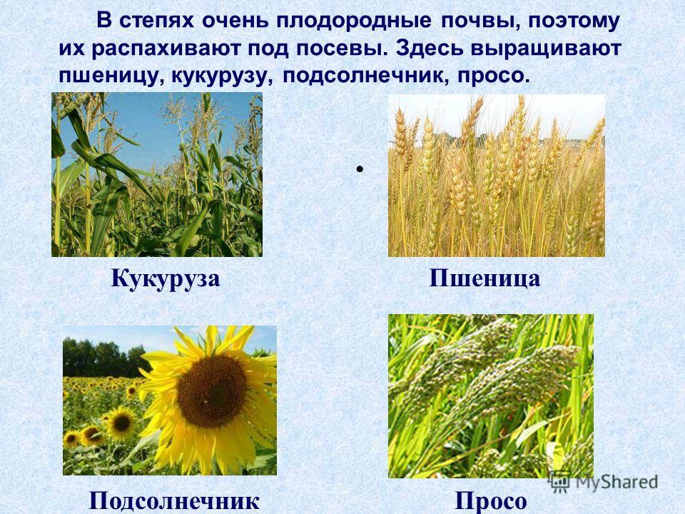 В степях очень плодородные почвы, поэтому их распахивают под посевы. Здесь выращивают пшеницу, кукурузу, подсолнечник, просо. Кукуруза Пшеница Подсолнечник Просо