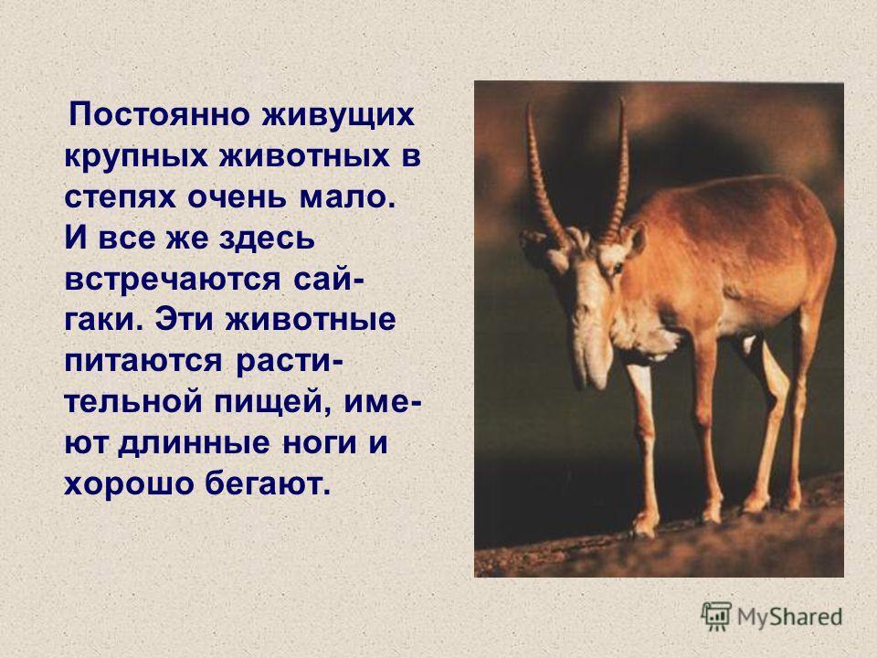 Постоянно живущих крупных животных в степях очень мало. И все же здесь встречаются сай- гаки. Эти животные питаются расти- тельной пищей, име- ют длинные ноги и хорошо бегают.