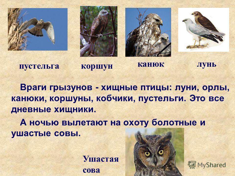 Враги грызунов - хищные птицы: луни, орлы, канюки, коршуны, кобчики, пустельги. Это все дневные хищники. А ночью вылетают на охоту болотные и ушастые совы. лунь коршун канюк пустельга Ушастая сова