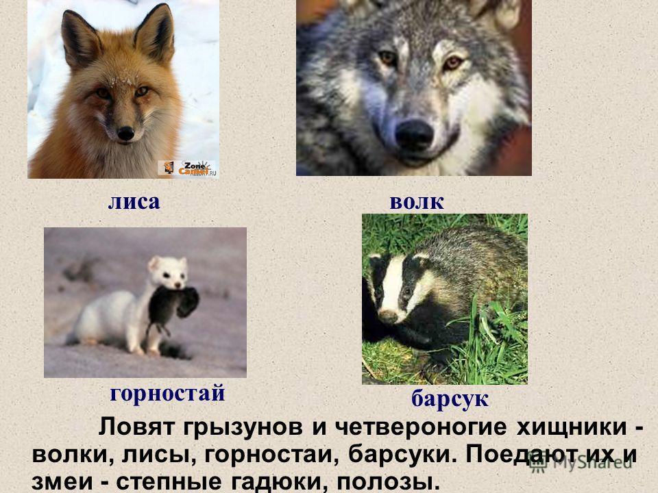 Ловят грызунов и четвероногие хищники - волки, лисы, горностаи, барсуки. Поедают их и змеи - степные гадюки, полозы. лисаволк горностай барсук