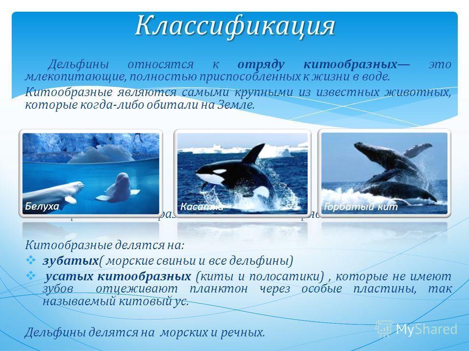 Классификация Дельфины относятся к отряду китообразных это млекопитающие, полностью приспособленных к жизни в воде. Китообразные являются самыми крупными из известных животных, которые когда-либо обитали на Земле. Китообразных можно разделить на два