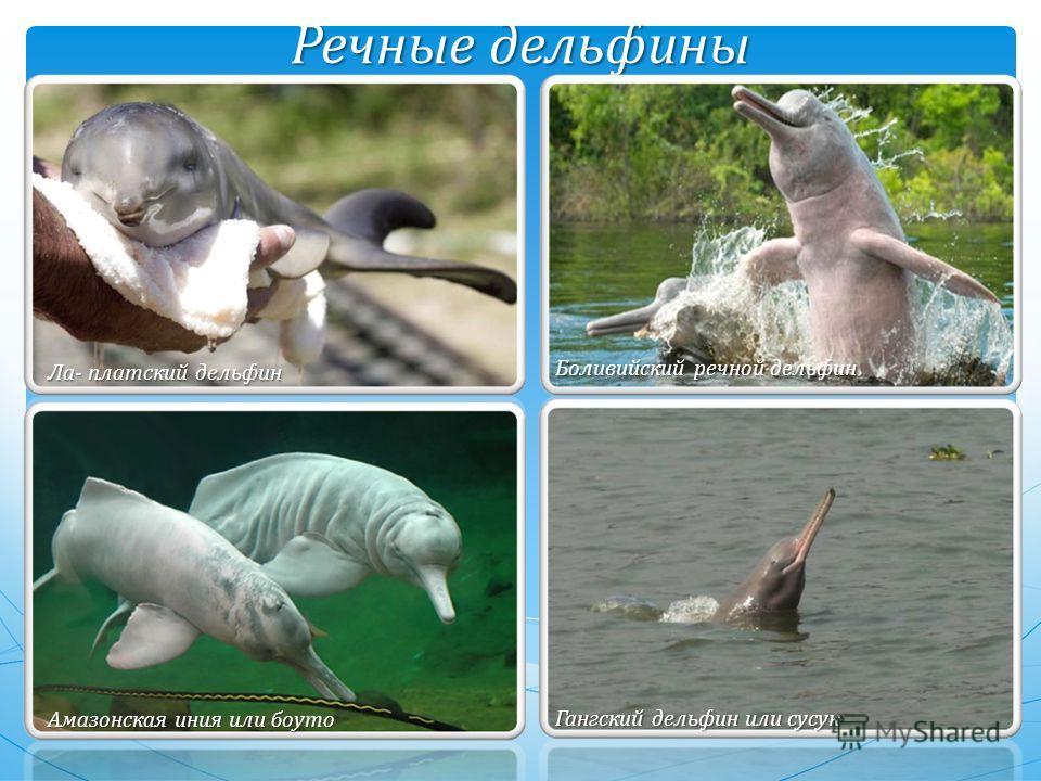 Речные дельфины Боливийский речной дельфин Амазонская иния или брутто Гангский дельфин или сусак Ла- плотский дельфин