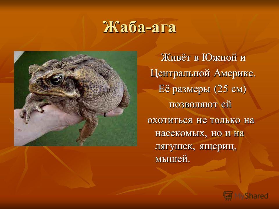 Жаба-ага Живёт в Южной и Живёт в Южной и Центральной Америке. Центральной Америке. Её размеры (25 см) Её размеры (25 см) позволяют ей позволяют ей охотиться не только на насекомых, но и на лягушек, ящериц, мышей. охотиться не только на насекомых, но
