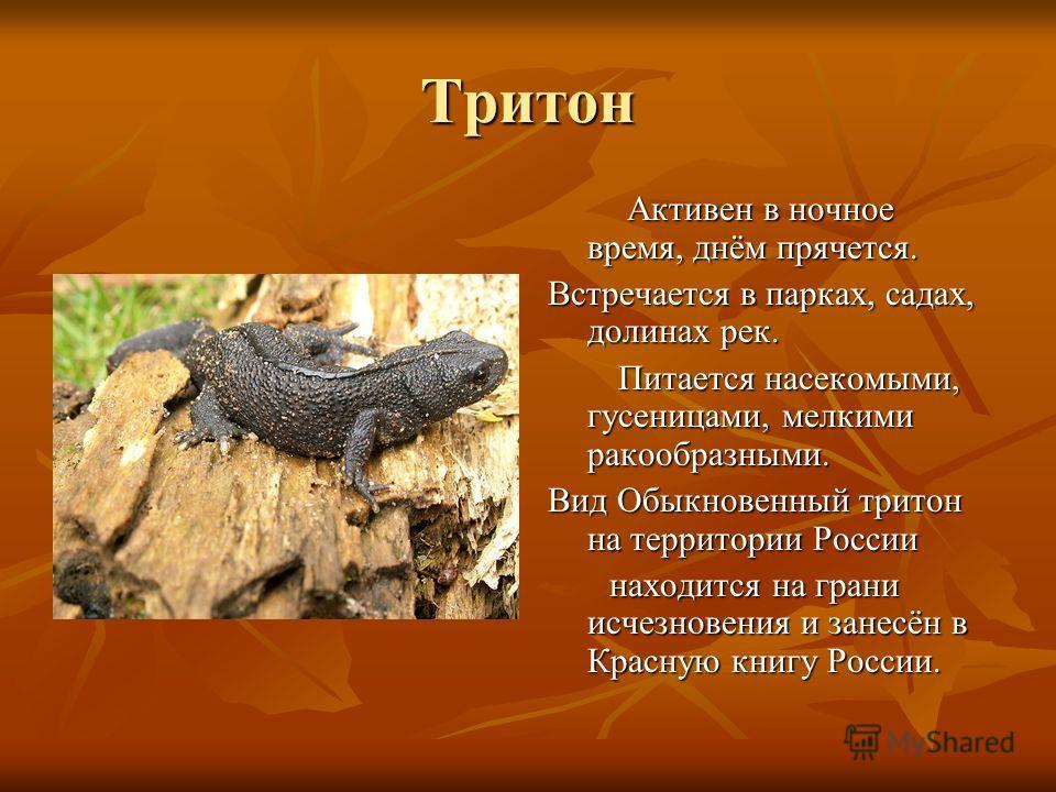 Тритон Активен в ночное время, днём прячется. Активен в ночное время, днём прячется. Встречается в парках, садах, долинах рек. Питается насекомыми, гусеницами, мелкими ракообразными. Питается насекомыми, гусеницами, мелкими ракообразными. Вид Обыкнов