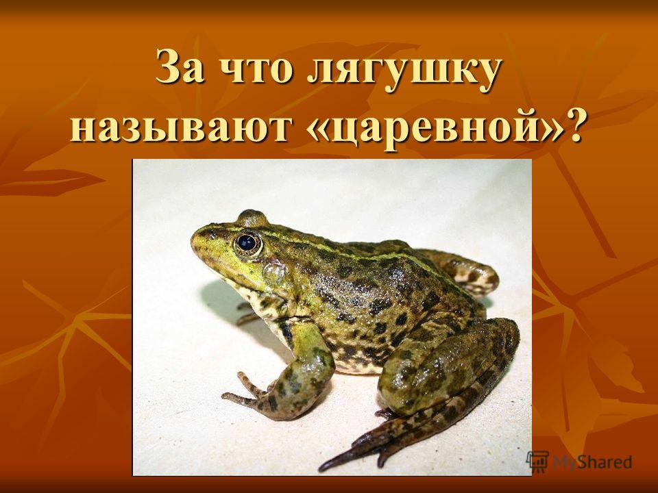 За что лягушку называют «царевной»?