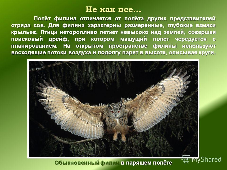 Не как все… Полёт филина отличается от полёта других представителей отряда сов. Для филина характерны размеренные, глубокие взмахи крыльев. Птица неторопливо летает невысоко над землей, совершая поисковый дрейф, при котором машущий полет чередуется с