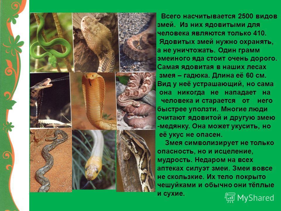 Всего насчитывается 2500 видов змей. Из них ядовитыми для человека являются только 410. Ядовитых змей нужно охранять, а не уничтожать. Один грамм змеиного яда стоит очень дорого. Самая ядовитая в наших лесах змея – гадюка. Длина её 60 см. Вид у неё у