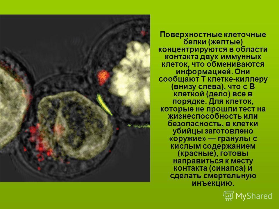 Поверхностные клеточные белки (желтые) концентрируются в области контакта двух иммунных клеток, что обмениваются информацией. Они сообщают Т клетке-киллеру (внизу слева), что с В клеткой (дело) все в порядке. Для клеток, которые не прошли тест на жиз