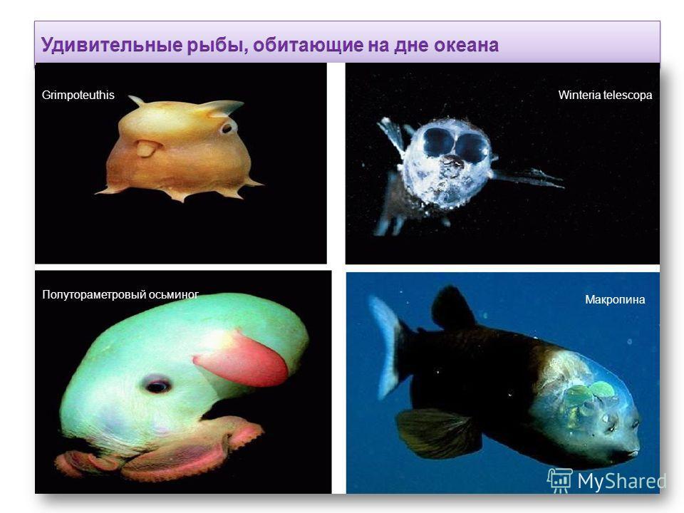 GrimpoteuthisWinteria telescopa Полутораметровый осьминог Макропина
