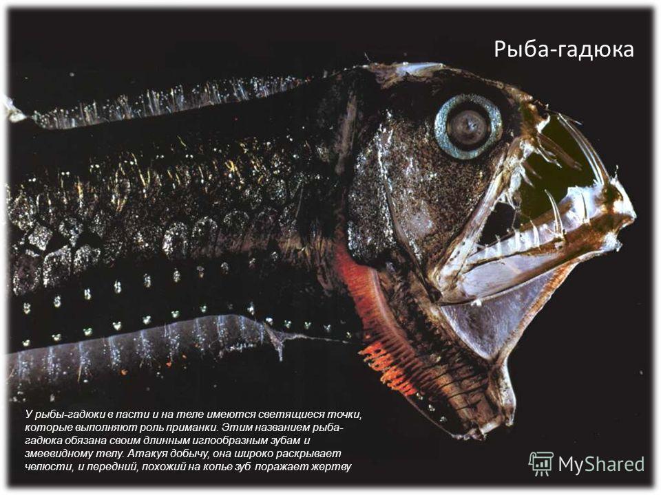 Рыба-гадюка У рыбы-гадюки в пасти и на теле имеются светящиеся точки, которые выполняют роль приманки. Этим названием рыба- гадюка обязана своим длинным иглообразным зубам и змеевидному телу. Атакуя добычу, она широко раскрывает челюсти, и передний,