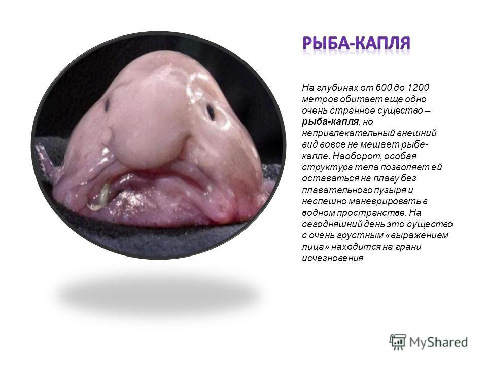На глубинах от 600 до 1200 метров обитает еще одно очень странное существо – рыба-капля, но непривлекательный внешний вид вовсе не мешает рыбе- капле. Наоборот, особая структура тела позволяет ей оставаться на плаву без плавательного пузыря и неспешн