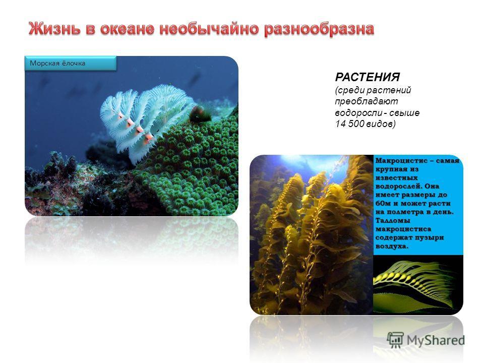 Морская ёлочка РАСТЕНИЯ (среди растений преобладают водоросли - свыше 14 500 видов)