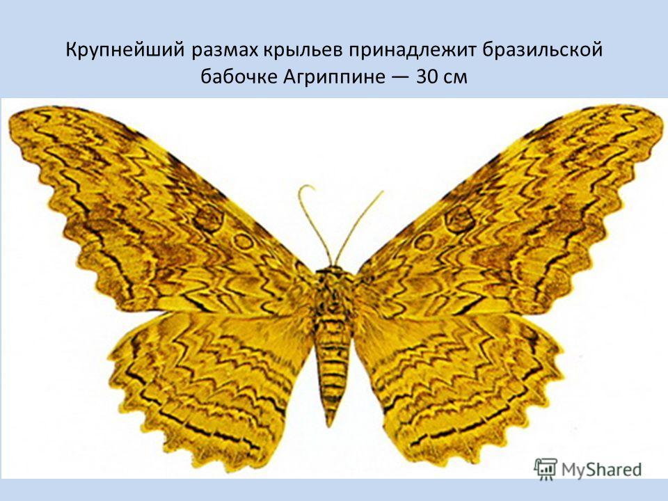 Крупнейший размах крыльев принадлежит бразильской бабочке Агриппине 30 см