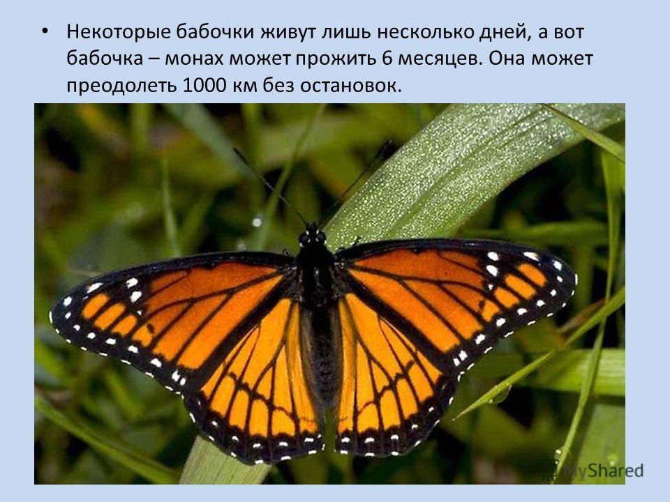 Некоторые бабочки живут лишь несколько дней, а вот бабочка – монах может прожить 6 месяцев. Она может преодолеть 1000 км без остановок.