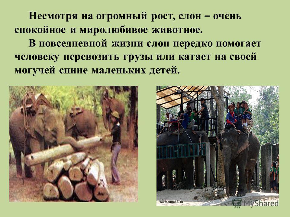 Несмотря на огромный рост, слон – очень спокойное и миролюбивое животное. В повседневной жизни слон нередко помогает человеку перевозить грузы или катает на своей могучей спине маленьких детей.