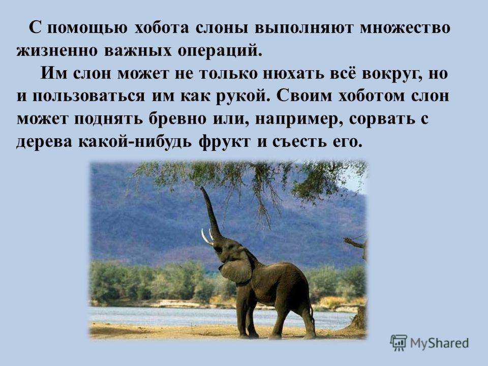 С помощью хобота слоны выполняют множество жизненно важных операций. Им слон может не только нюхать всё вокруг, но и пользоваться им как рукой. Своим хоботом слон может поднять бревно или, например, сорвать с дерева какой-нибудь фрукт и съесть его.