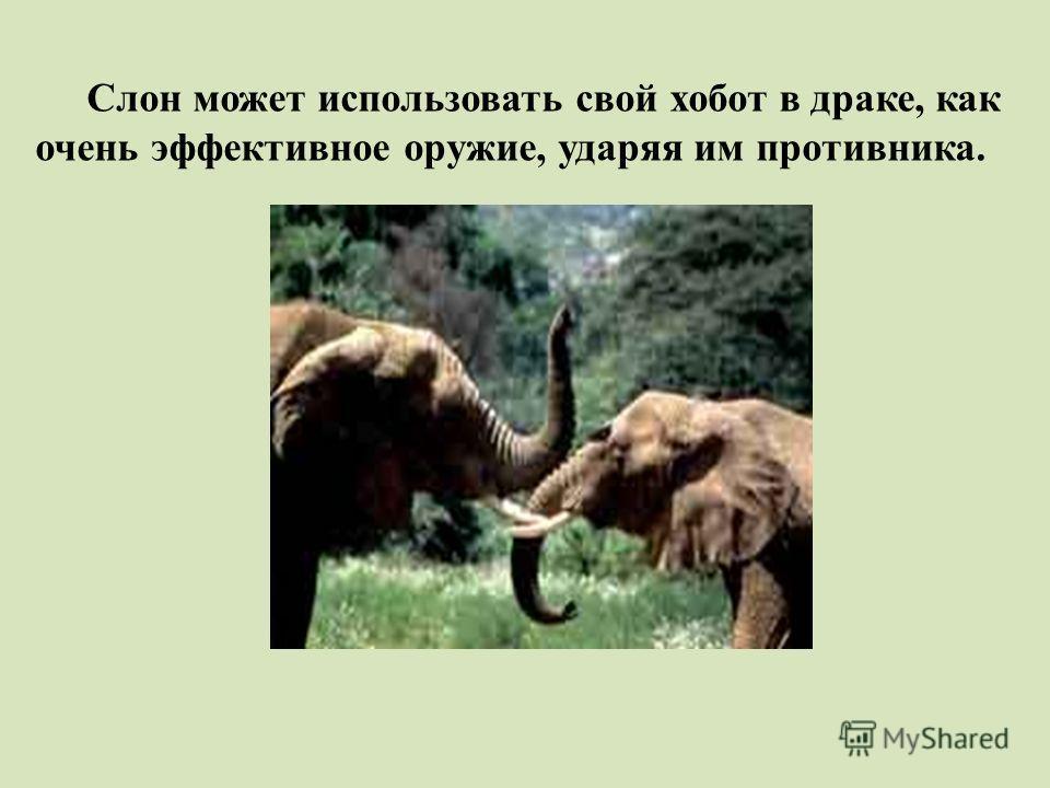 Слон может использовать свой хобот в драке, как очень эффективное оружие, ударяя им противника.