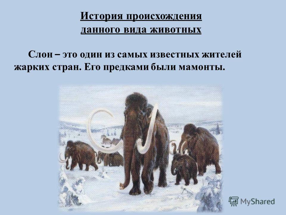 История происхождения данного вида животных Слон – это один из самых известных жителей жарких стран. Его предками были мамонты.