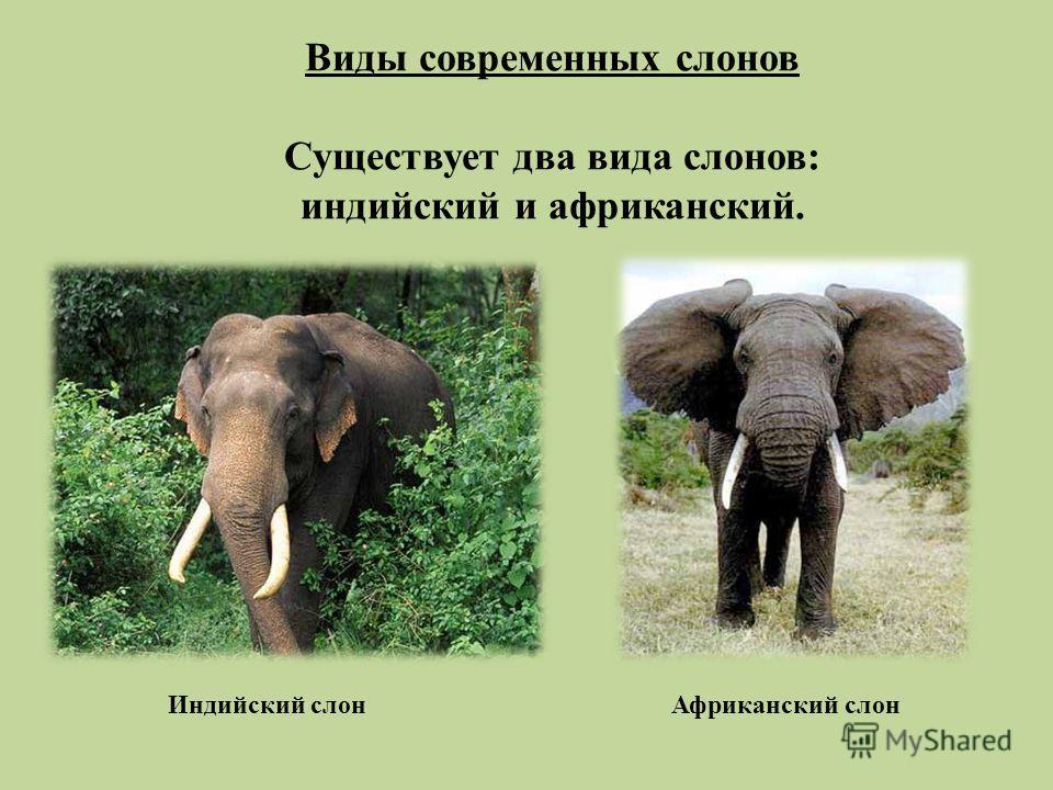 Виды современных слонов Существует два вида слонов: индийский и африканский. Индийский слон Африканский слон