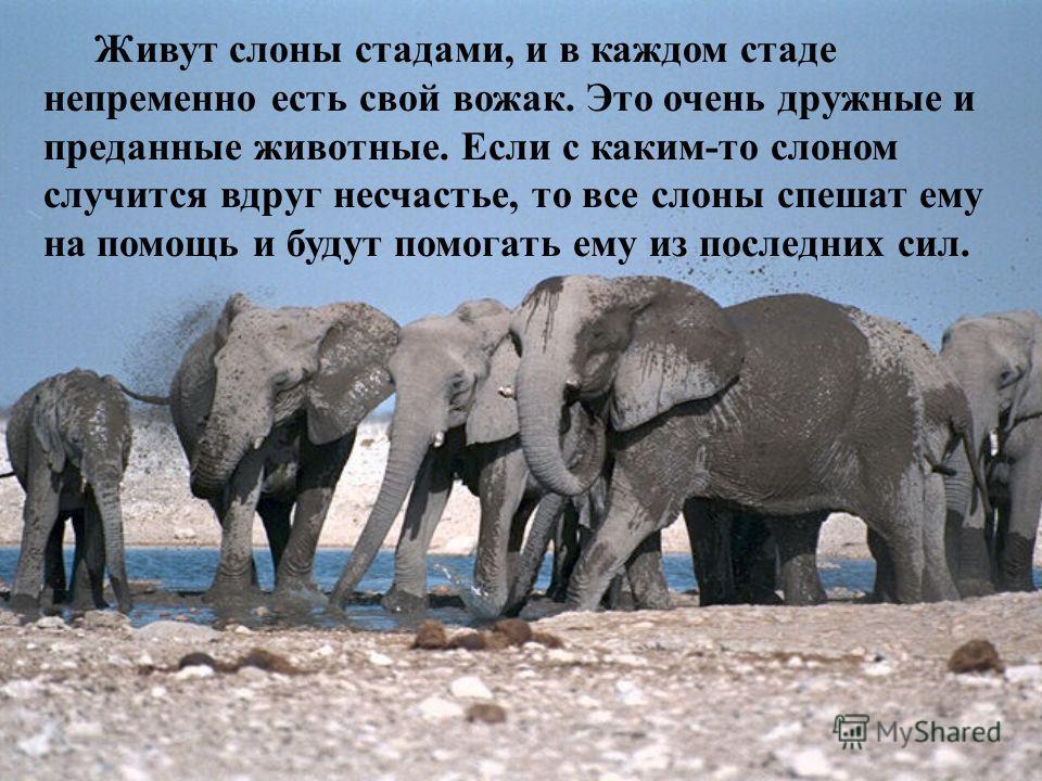 Живут слоны стадами, и в каждом стаде непременно есть свой вожак. Это очень дружные и преданные животные. Если с каким-то слоном случится вдруг несчастье, то все слоны спешат ему на помощь и будут помогать ему из последних сил.