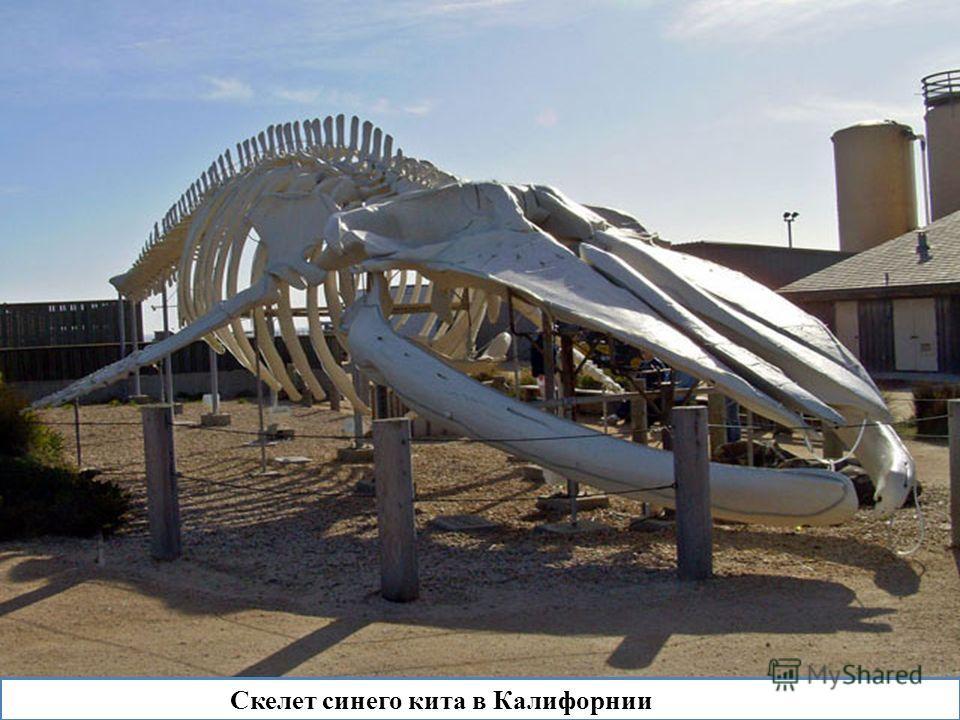 Скелет синего кита в Калифорнии