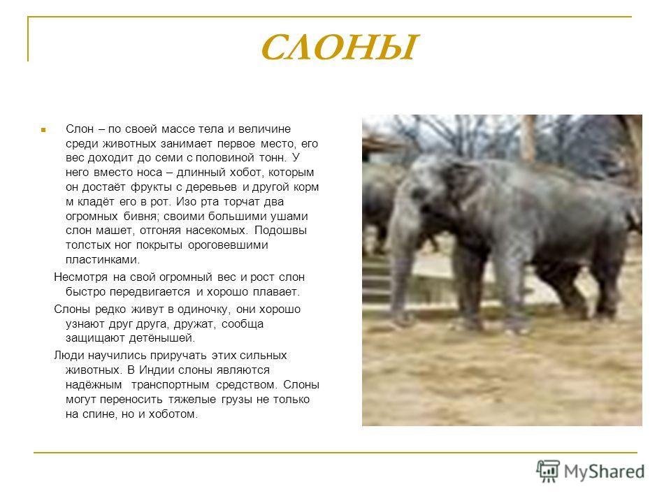СЛОНЫ Слон – по своей массе тела и величине среди животных занимает первое место, его вес доходит до семи с половиной тонн. У него вместо носа – длинный хобот, которым он достаёт фрукты с деревьев и другой корм м кладёт его в рот. Изо рта торчат два