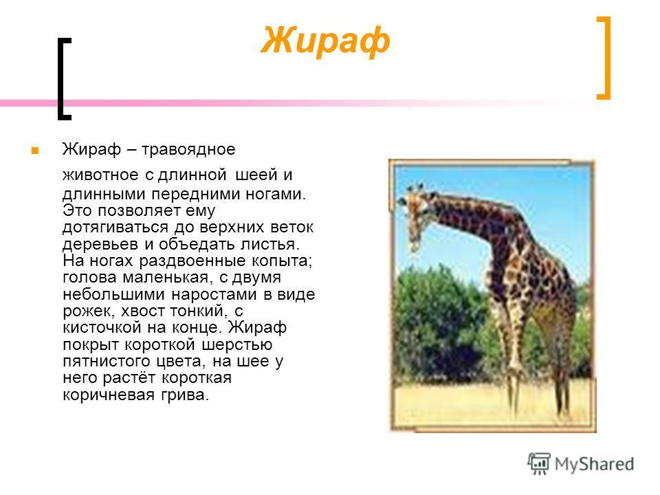 Жираф Жираф – травоядное животное с длинной шеей и длинными передними ногами. Это позволяет ему дотягиваться до верхних веток деревьев и объедать листья. На ногах раздвоенные копыта; голова маленькая, с двумя небольшими наростами в виде рожек, хвост