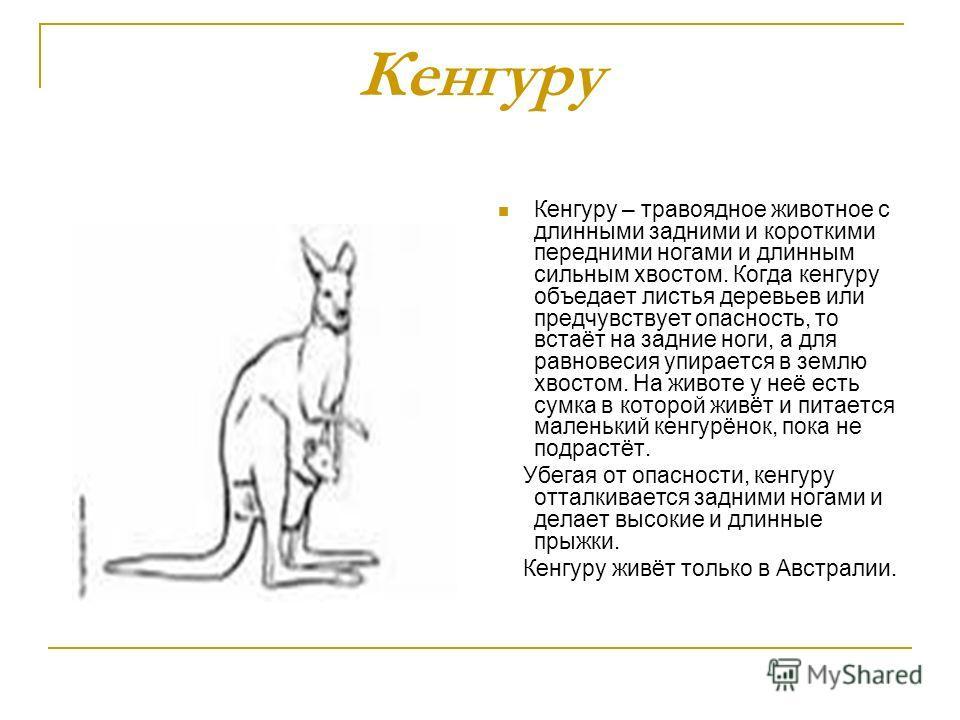 Кенгуру Кенгуру – травоядное животное с длинными задними и короткими передними ногами и длинным сильным хвостом. Когда кенгуру объедает листья деревьев или предчувствует опасность, то встаёт на задние ноги, а для равновесия упирается в землю хвостом.