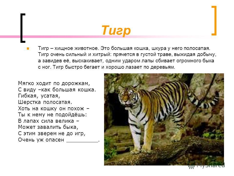 Тигр Тигр – хищное животное. Это большая кошка, шкура у него полосатая. Тигр очень сильный и хитрый: прячется в густой траве, выжидая добычу, а завидев её, выскакивает, одним ударом лапы сбивает огромного быка с ног. Тигр быстро бегает и хорошо лазае