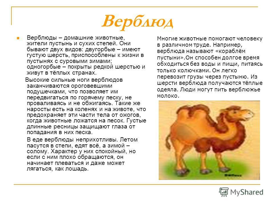 Верблюд Верблюды – домашние животные, жители пустынь и сухих степей. Они бывают двух видов: двугорбые – имеют густую шерсть, приспособлены к жизни в пустынях с суровыми зимами; одногорбые – покрыты редкой шерстью и живут в тёплых странах. Высокие сил