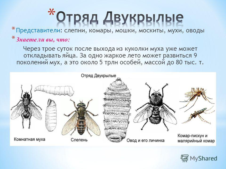 * Представители: слепни, комары, мошки, москиты, мухи, оводы * Знаете ли вы, что: Через трое суток после выхода из куколки муха уже может откладывать яйца. За одно жаркое лето может развиться 9 поколений мух, а это около 5 трлн особей, массой до 80 т
