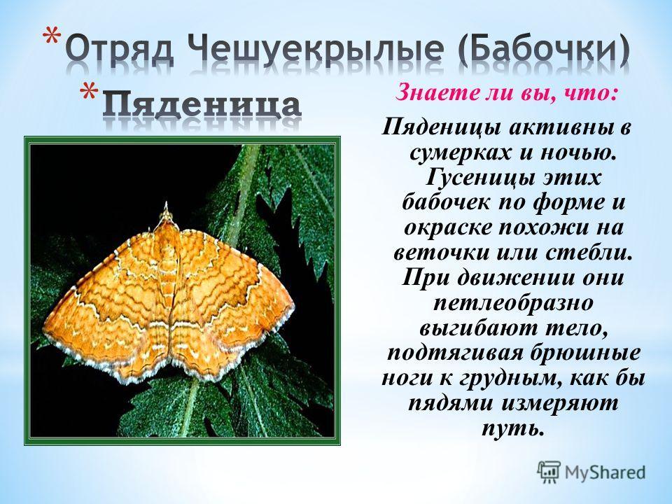 Знаете ли вы, что: Пяденицы активны в сумерках и ночью. Гусеницы этих бабочек по форме и окраске похожи на веточки или стебли. При движении они петлеобразно выгибают тело, подтягивая брюшные ноги к грудным, как бы пядями измеряют путь.
