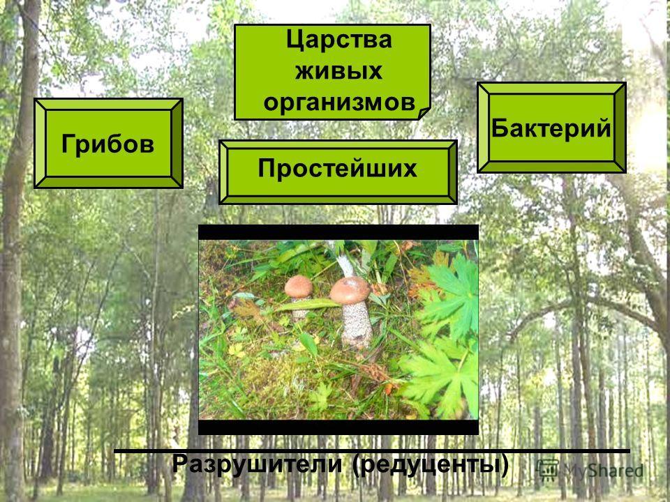 Простейших Царства живых организмов Грибов Бактерий Разрушители (редуценты)