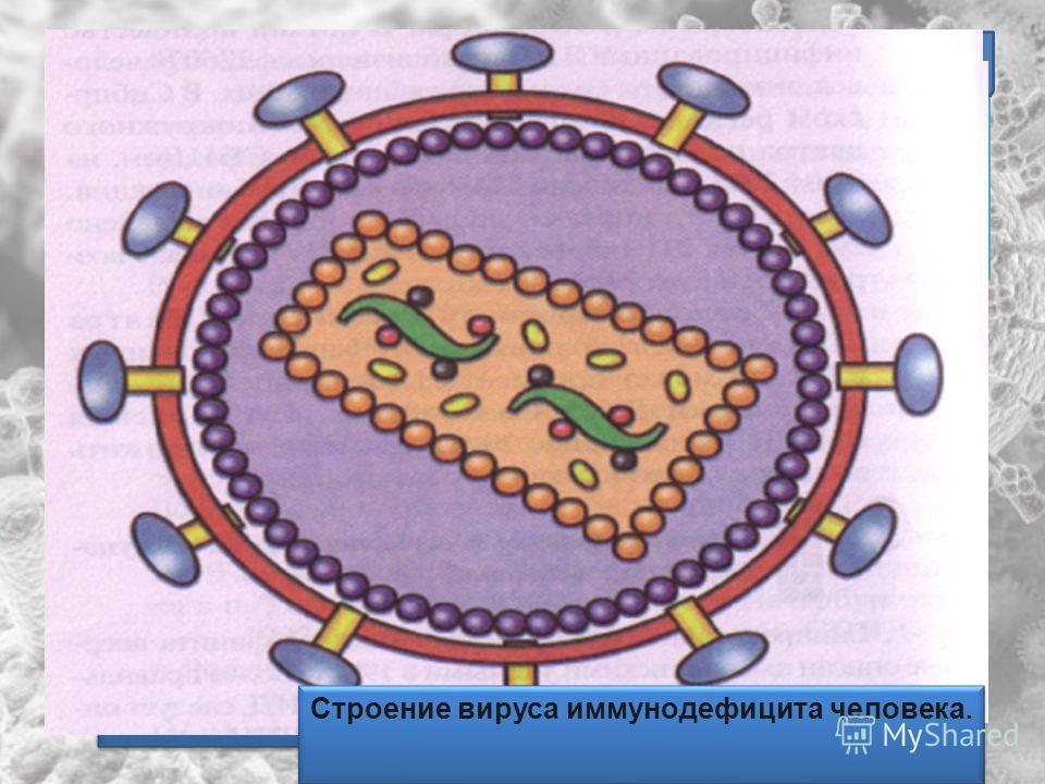 Многообразие вирусов ВИЧ (вирус иммунодефицита человека) Вирус который атакует иммунную систему человека и делает организм уязвимым для вирусов и бактерий ВИЧ (вирус иммунодефицита человека) Вирус который атакует иммунную систему человека и делает ор