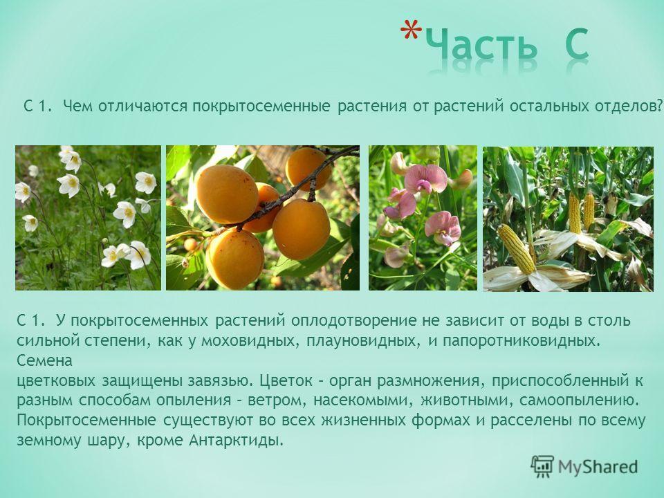 С 1. Чем отличаются покрытосеменные растения от растений остальных отделов? С 1. У покрытосеменных растений оплодотворение не зависит от воды в столь сильной степени, как у моховидных, плауновидных, и папоротниковидных. Семена цветковых защищены завя