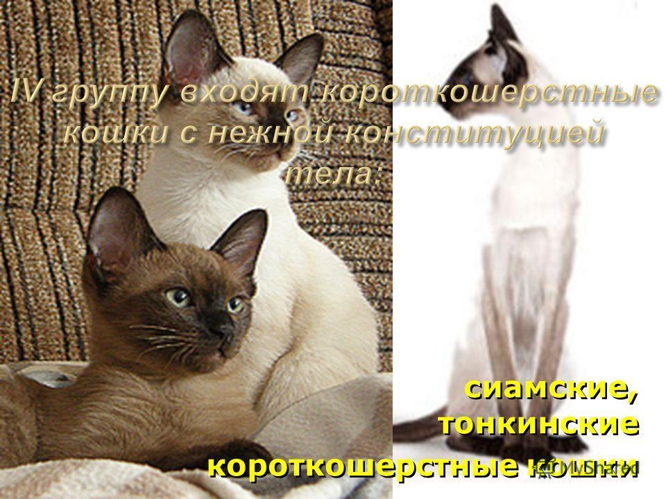 сиамские, тонкинские короткошерстные кошки сиамские, тонкинские короткошерстные кошки