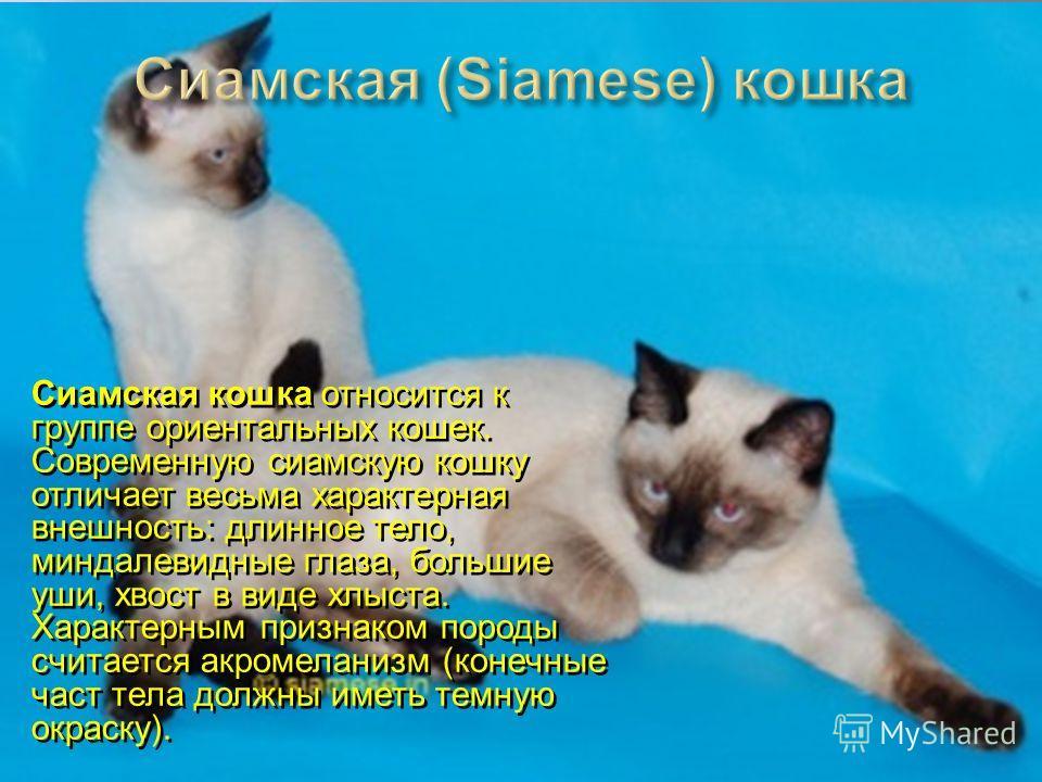 Сиамская кошка относится к группе ориентальных кошек. Современную сиамскую кошку отличает весьма характерная внешность: длинное тело, миндалевидные глаза, большие уши, хвост в виде хлыста. Характерным признаком породы считается акромеланизм (конечные